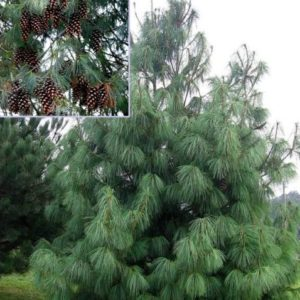 Vrtnarstvo Breskvar - Pinus wallichiana