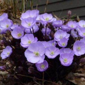 Vrtnarstvo Breskvar - Plagiorhegma dubuim