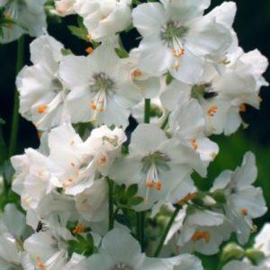 Vrtnarstvo Breskvar - Polemonium caeruleum Album