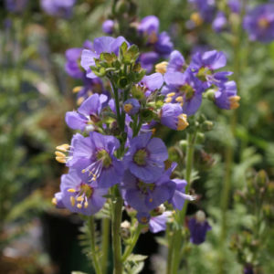 Vrtnarstvo Breskvar - Polemonium caeruleum