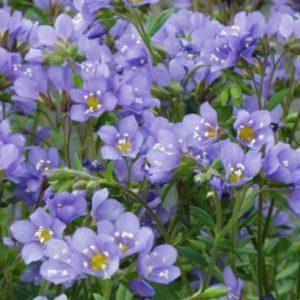 Vrtnarstvo Breskvar - Polemonium reptans Blue Pearl