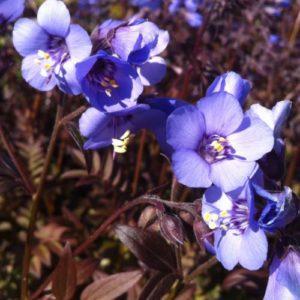 Vrtnarstvo Breskvar - Polemonium yezoense Purple Rain