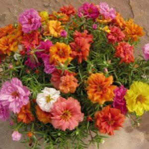 Vrtnarstvo Breskvar - Portulaca grandiflora