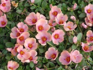 Vrtnarstvo Breskvar - Portulaca oleracea
