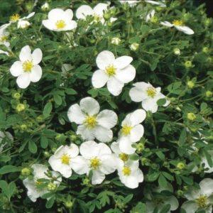 Vrtnarstvo Breskvar - Potentilla fruticosa Abbotswood