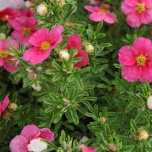 Vrtnarstvo Breskvar - Potentilla fruticosa Bellissima Noble