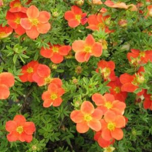 Vrtnarstvo Breskvar - Potentilla Fruticosa Hopleys Orange