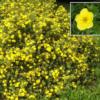 Vrtnarstvo Breskvar - Potentilla fruticosa Kobold