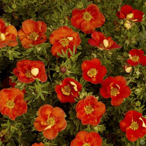 Vrtnarstvo Breskvar - Potentilla fruticosa Red Ace