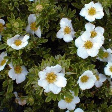 Vrtnarstvo Breskvar - Potentilla fruticosa Tilford Cream