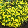 Vrtnarstvo Breskvar - Potentilla Neumanniana Nana