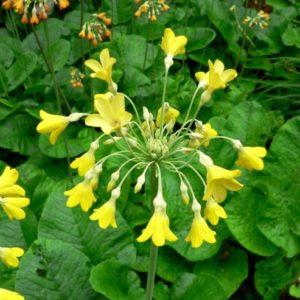 Vrtnarstvo Breskvar - Primula florindae