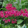 Vrtnarstvo Breskvar - Primula japonica Millers Crimson