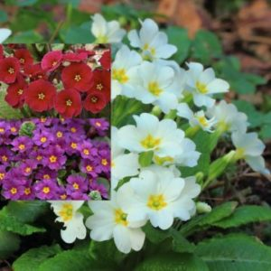 Vrtnarstvo Breskvar - Primula pruhoniciana