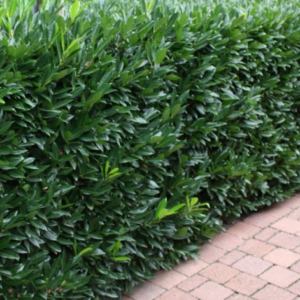 Prunus laurocerasus 'Caucasica' - Vrtnarstvo Breskvar