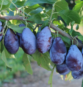 Vrtnarstvo Breskvar - Prunus domestica Jofela