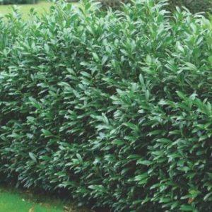 Vrtnarstvo Breskvar - Prunus laurocerasus Caucasica