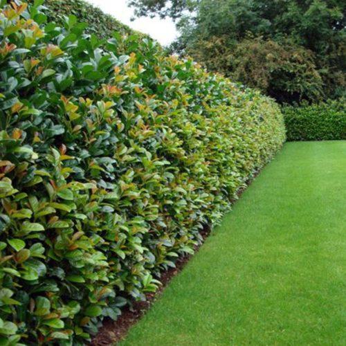 Vrtnarstvo Breskvar - Prunus laurocerasus Etna
