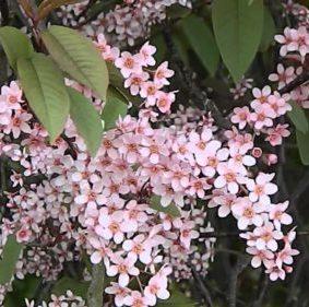 Vrtnarstvo Breskvar - Prunus Padus Colorata