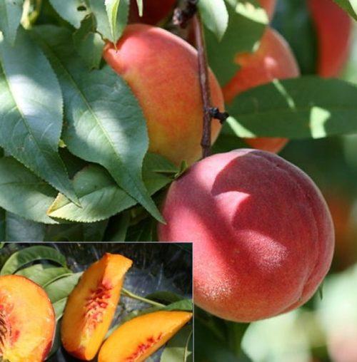 Vrtnarstvo Breskvar - Prunus persica Harrow Beauty