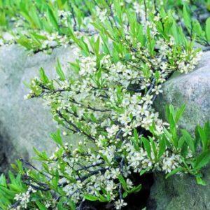 Vrtnarstvo Breskvar - Prunus pumila Depressa