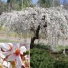 Vrtnarstvo Breskvar - Prunus Snow Fountains