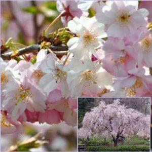 Vrtnarstvo Breskvar - Prunus Subhirtella Autumnalis Rosea