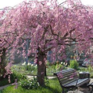 Vrtnarstvo Breskvar - Prunus Subhirtella Pendula Rubra