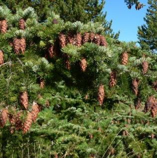 Vrtnarstvo Breskvar - Pseudotsuga Menziesii