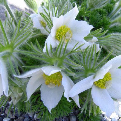 Vrtnarstvo Breskvar - Pulsatilla vulgaris Alba