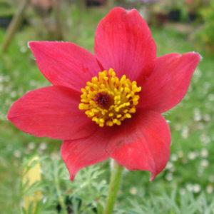 Vrtnarstvo Breskvar - Pulsatilla vulgaris Rode Klokke