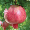 Punica granatum 'Provence' - Vrtnarstvo Breskvar