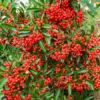 Vrtnarstvo Breskvar - Pyracantha Mohave