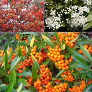 Vrtnarstvo Breskvar - Pyracantha Orange Glow