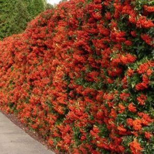 Vrtnarstvo Breskvar - Pyracantha Red Column