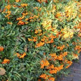 Vrtnarstvo Breskvar - Pyracantha Red Cushion