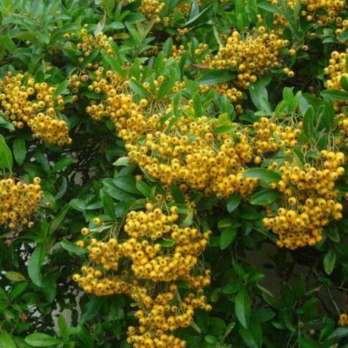 Vrtnarstvo Breskvar - Pyracantha Soleil d'Or