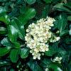 Vrtnarstvo Breskvar - Pyracantha Teton
