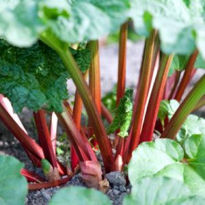 Vrtnarstvo Breskvar - Rheum rhabarbarum
