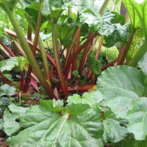 Vrtnarstvo Breskvar - Rheum Rhabarbarum Frambozen Rood