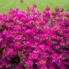 Vrtnarstvo Breskvar - Rhododendron Amoena