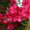 Vrtnarstvo Breskvar - Rhododendron Ardeur