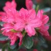 Vrtnarstvo Breskvar - Rhododendron Blaauw's Pink