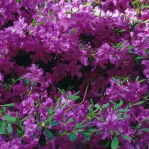 Vrtnarstvo Breskvar - Rhododendron Blaue Donau
