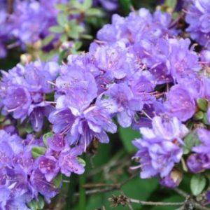 Vrtnarstvo Breskvar - Rhododendron Blue Tit Magor
