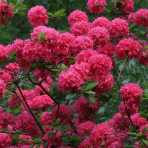 Vrtnarstvo Breskvar - Rhododendron Homebush