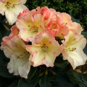 Vrtnarstvo Breskvar - Rhododendron Horizon Monarch