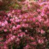 Vrtnarstvo Breskvar - Rhododendron Madame van Hecke