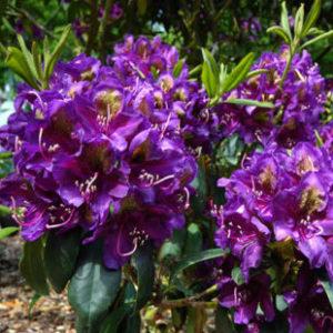 Vrtnarstvo Breskvar - Rhododendron Marcel Menard