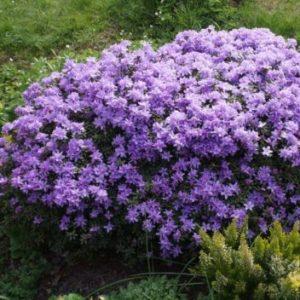 Vrtnarstvo Breskvar - Rhododendron Moerheim